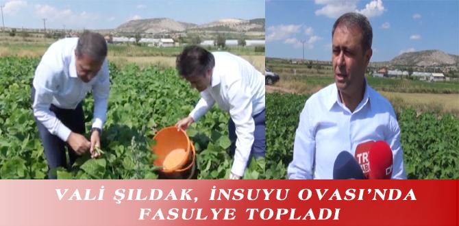 VALİ ŞILDAK, İNSUYU OVASI'NDA FASULYE TOPLADI
