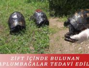 ZİFT İÇİNDE BULUNAN KAPLUMBAĞALAR TEDAVİ EDİLDİ
