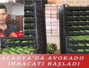 ALANYA'DA AVOKADO İHRACATI BAŞLADI